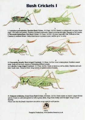 Bush Crickets I