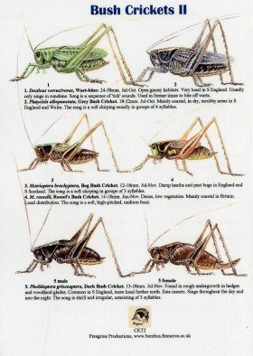 Bush Crickets II