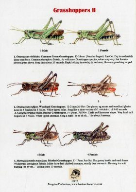 Grasshoppers II