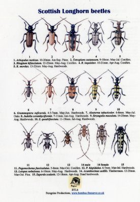 Scottish Longhorn Beetles