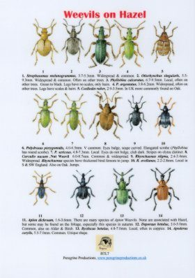 Weevils on Hazel