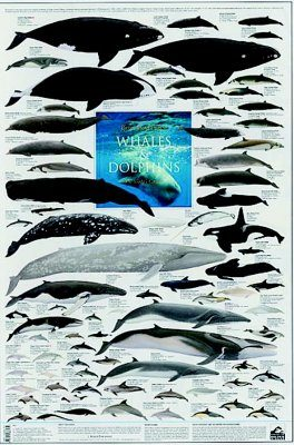 Whales and Dolphins: The World's Cetacea - Poster