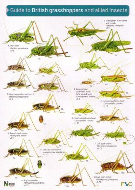 Guide to British Grasshoppers and Allied Insects