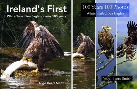 Ireland's First + 100 Years 100 Photos: White Tailed Sea Eagles