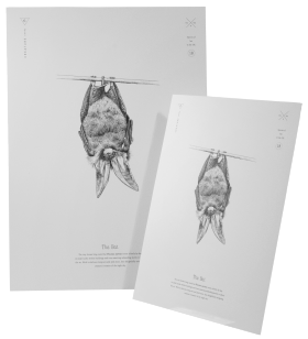 Brown Long-eared Bat Print A4