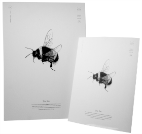Buff-tailed Bumblebee Print A3