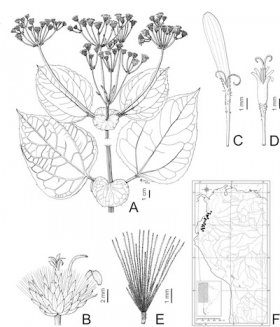 Systematics of Liabum Adanson (Asteraceae, Liabeae)