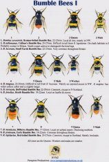Bumble Bees I
