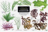 A Key to Common Seaweeds