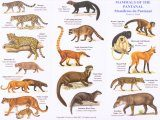Mammals of the Pantanal / Mamiferos do Pantanal