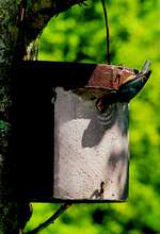 5KL Schwegler Nuthatch Nest Box