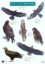 Guide to British Birds of Prey