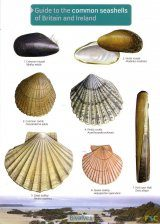 Guide to the Common Seashells of Britain and Ireland