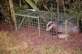 Badger Trap