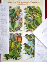 African Poicephalus Parrots (Booklet + Poster)