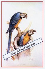 Blue-and-Gold Macaws Poster