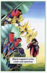Black-Capped Lories Poster