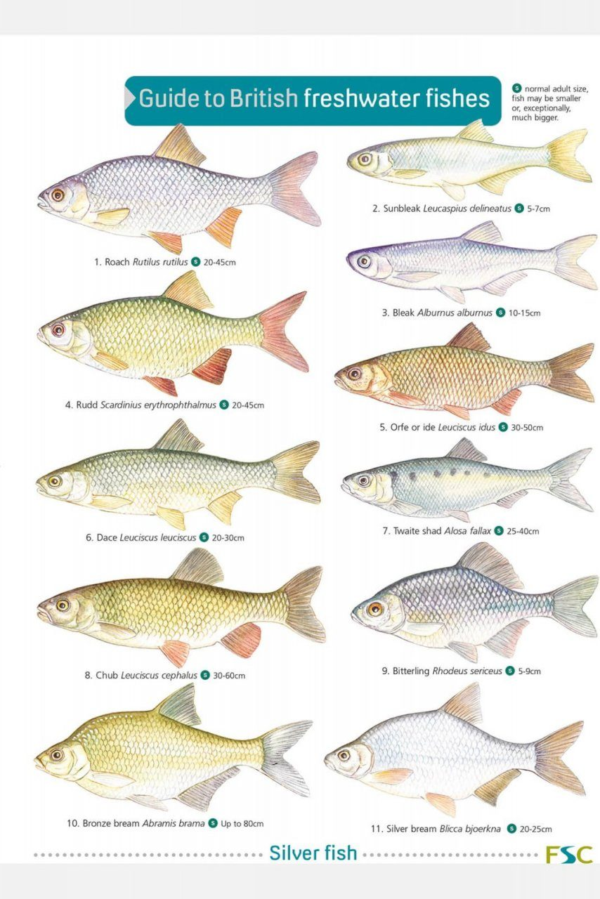 Freshwater aquarium fish identification guide - Guide To British Freshwater Fishes