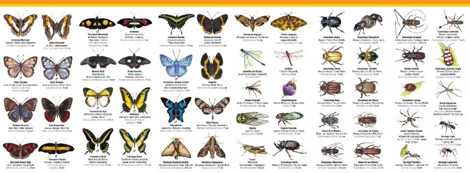 Iguazú: Butterflies and Other Insects: Pocket Guide / Guá
