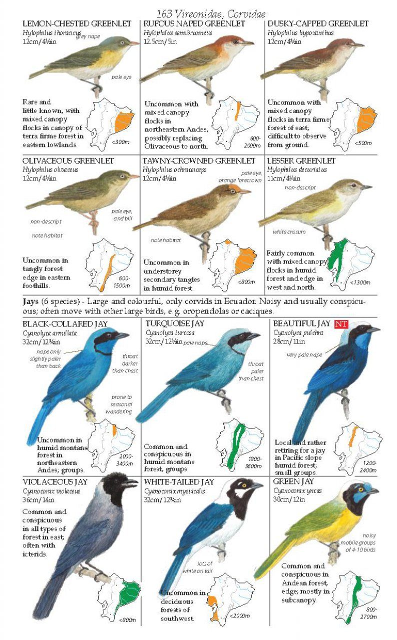 field guide birds of ecuador