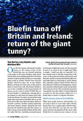Bluefin tuna off Britain and Ireland: return of the giant tunny?