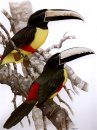 Toucans of the Americas / Tucanos das Américas