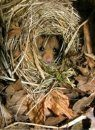 2KS Schwegler Common Dormouse Drey