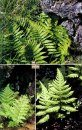Flowering Plants and Ferns of Iceland