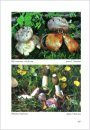 Fungi non Delineati 56-57: Characteristic and Rare Species of Gasteromycetes in Eupannonicum