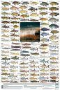 Freshwater Fishes, Southern Africa - Poster: All the Larger Indigenous and Introduced Species