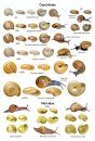 An Illustrated Guide to the Land Snails of the British Isles