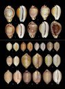Cowries – A Guide to the Gastropod Family Cypraeidae, Volume 2