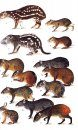 Neotropical Rainforest Mammals