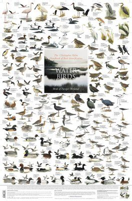 Water Birds: Birds of Europe's Wetlands - Poster