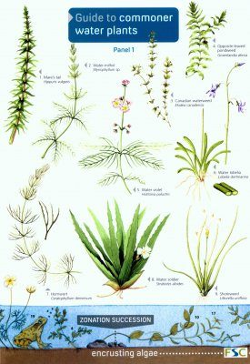 Guide to Commoner Water Plants