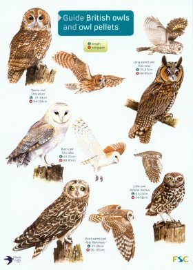 Guide to British Owls and Owl Pellets