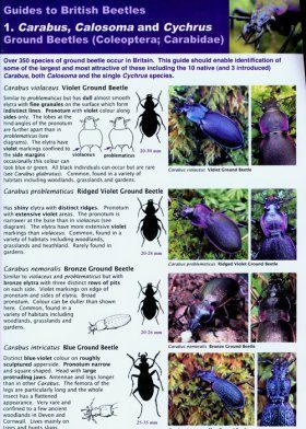 Guides to British Beetles 1. Carabus, Calosoma and Cychrus