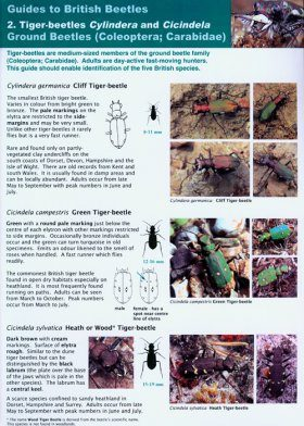 Guides to British Beetles 2. Tiger-beetles Cylindera and Cicindela