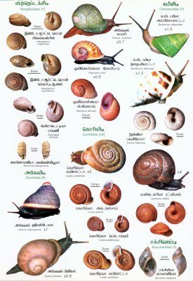 Sri Lankan Snails: A Popular Colour Guide [Tamil]