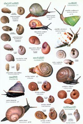 Sri Lankan Snails: A Popular Colour Guide [Sinhala]