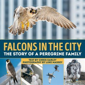 Falcons in the City
