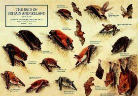 Bats of Britain and Ireland Poster