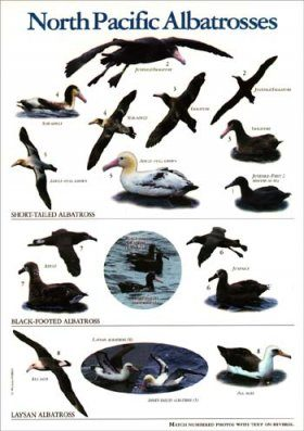 North Pacific Albatrosses