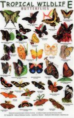 Tropical Wildlife Field Guide: Butterflies [English / Spanish]