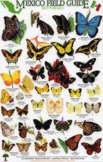 Mexico Field Guides: Butterflies Image