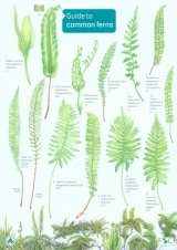 Guide to Common Ferns