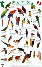Peru Forest Bird Guide / Aves del Bosque