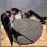 WoodStone Swallow Nest Bowl (Plywood board mounted)