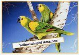 Yellow-Winged Amazons Poster