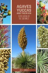 Agaves, Yuccas, and Their Kin